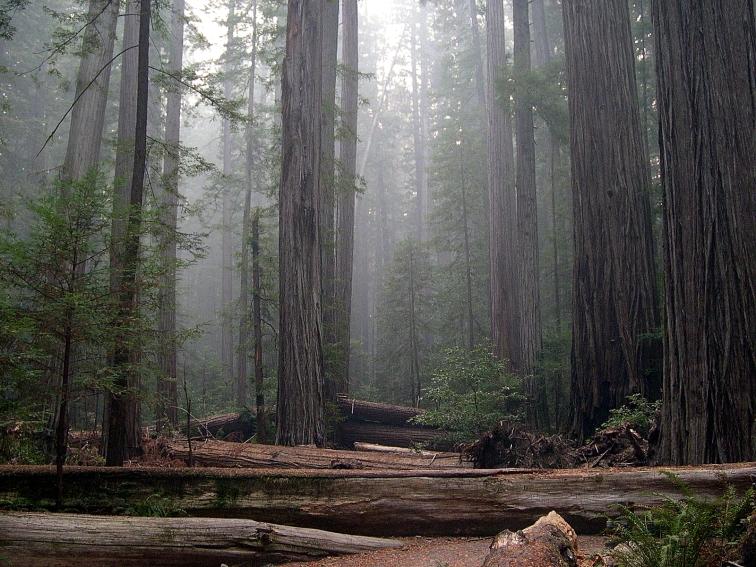 Rockefeller_Forest_Sequoia_sempervirens Humboldt Redwoods State