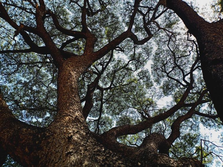 Tree Phimai